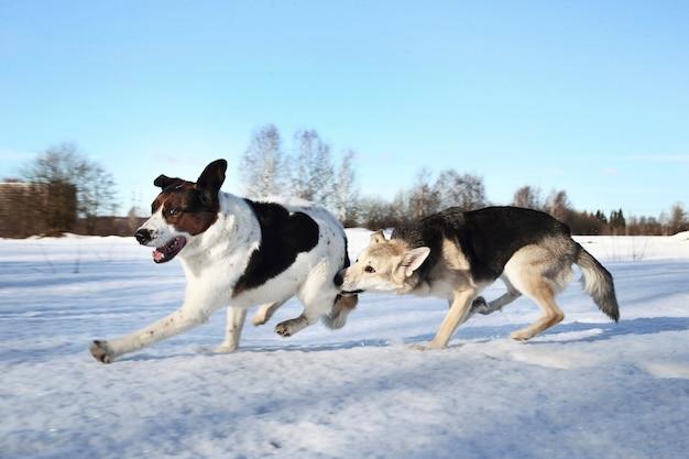 Dois cachorros fofos brigando e brincando no campo de inverno na neve