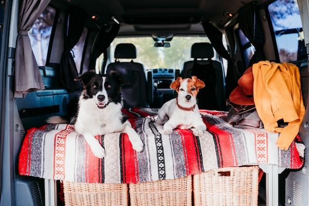 Dois cachorros fofos em uma van, border collie e jack russell relaxando. conceito de viagens