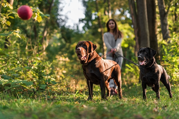 Dois, cachorros, olhar, bola vermelha, ar, ficar, com, animal estimação, dono
