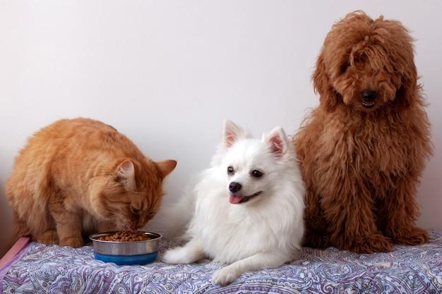 Dois cachorros pequenos, um pomeranian branco e um poodle miniatura marrom-vermelho, estão deitados em uma maca, um gato vermelho está sentado ao lado de uma tigela de comida e comendo.