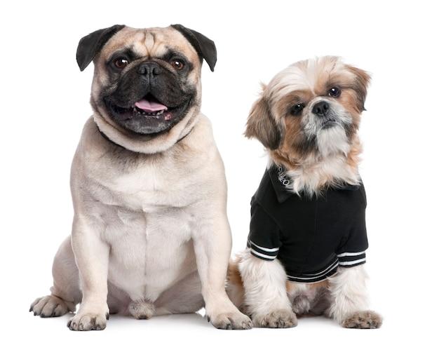 Dois cachorros: shih tzu vestido e um pug