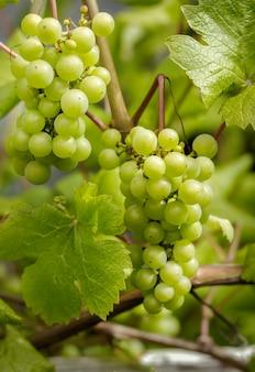 Dois cachos de uvas verdes suculentas em uma videira.