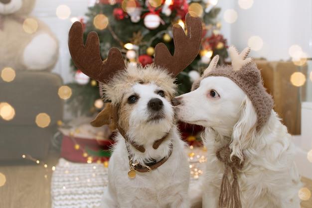 Dois cães bonitos sob a árvore de luz do natal com o traje do chapéu de rena.