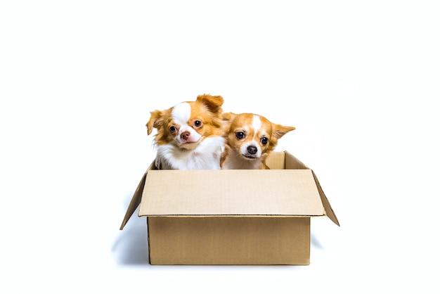 Dois cães chihuahua em uma caixa de papel marrom com tristeza