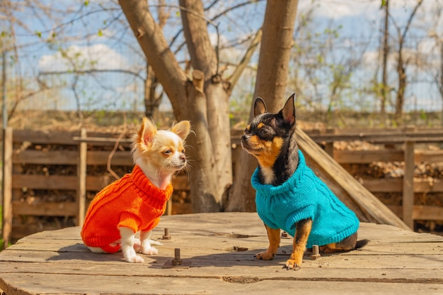 Dois cães chihuahua sentam-se em uma mesa de jardim. chihuahua em suéteres azuis e laranja. primavera