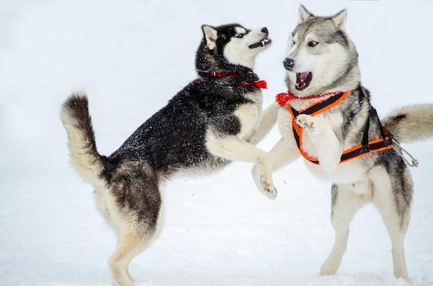 Dois cães da raça husky siberiano jogar uns com os outros.