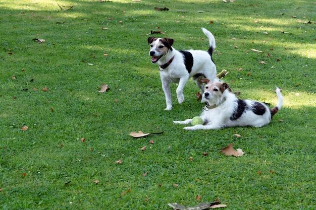 Dois cães da raça jack russell terrier estão no gramado e estão guardando a bola