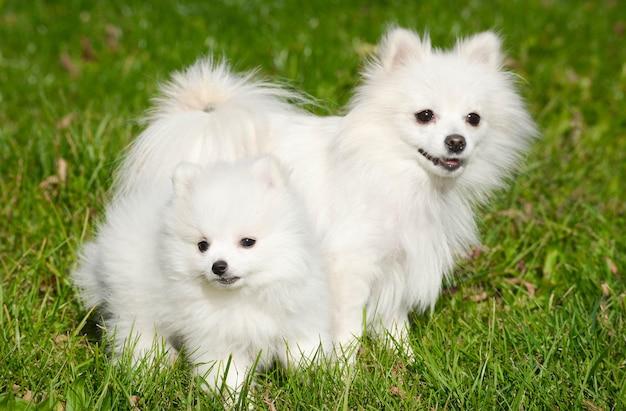 Dois cães da raça pomeranian spitz