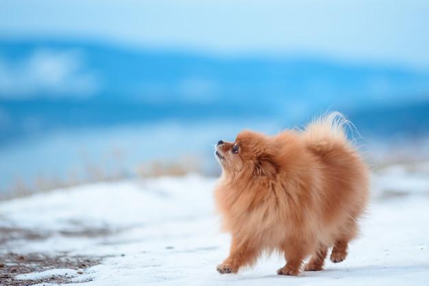 Dois cães de cor vermelha da raça spitz jogam na montanha no inverno.
