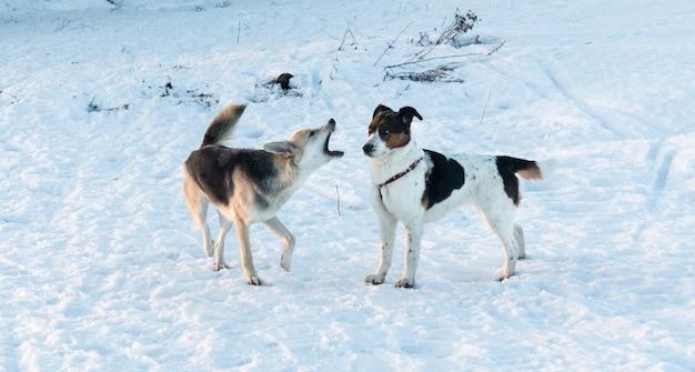 Dois cães de raça misturada em pé na neve em winter park. um cachorro late para outro