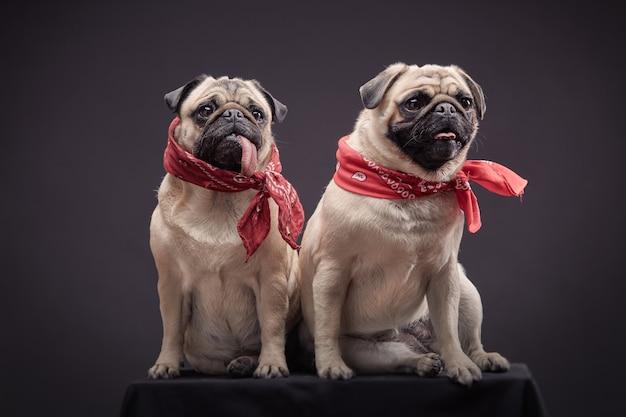 Dois cães de raça pug sentados.