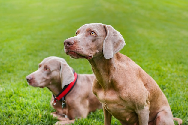 Dois cães de raça pura weimaraner, muito elegantes, sentados na grama da natureza