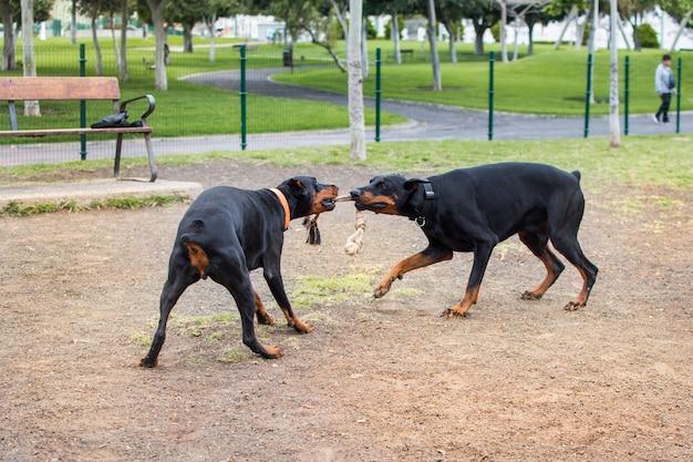 Dois cães doberman brincando no parque animal com uma corda que ambos mordem com o focinho.