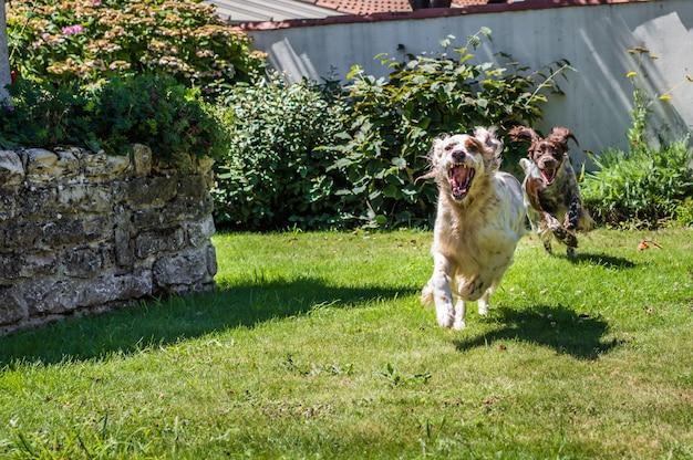 Dois cães estão correndo no jardim do quintal.