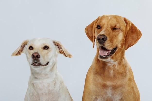 Dois cães expressivos posando no estúdio contra um fundo branco