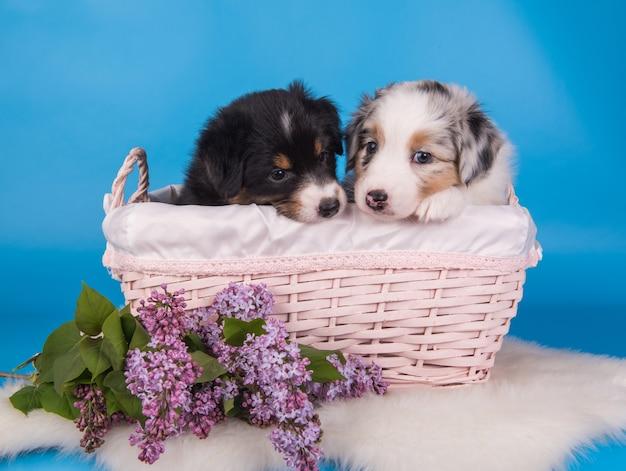 Dois cães filhotes de pastor australiano tricolores preto, marrom e branco e merle seis semanas de idade, sentados dentro de uma cesta com flores lilás na parede azul claro.