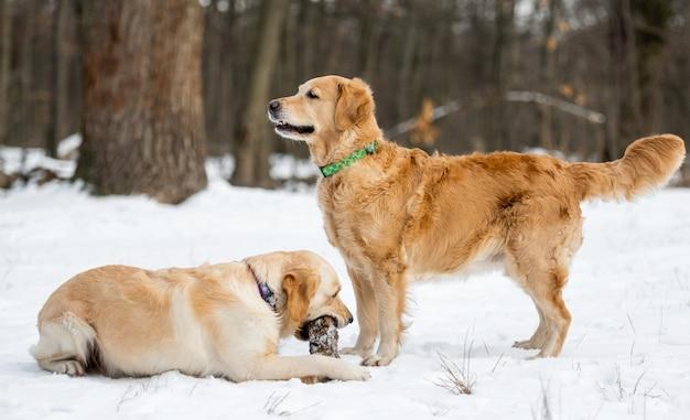 Dois cães golden retriever ao ar livre durante o inverno passeando com o cachorrinho deitado na neve e roendo um pedaço da floresta