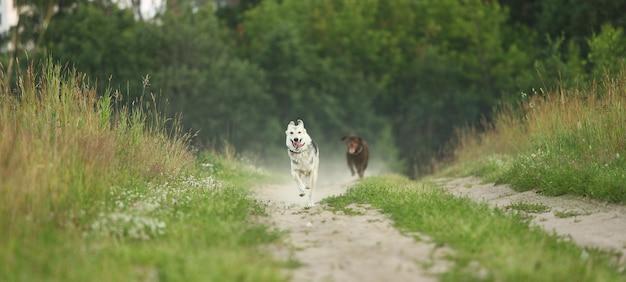 Dois cães husky e marrom labrador correndo no prado verde