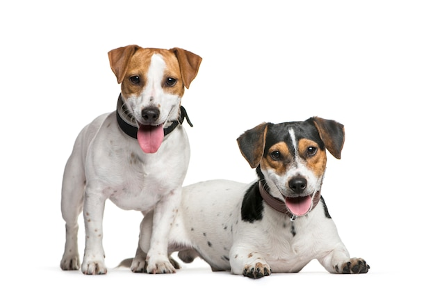 Dois cães jack russell terrier, juntos, isolados