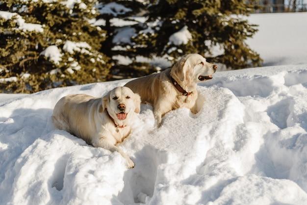 Dois cães labrador na neve, cães a pé no inverno