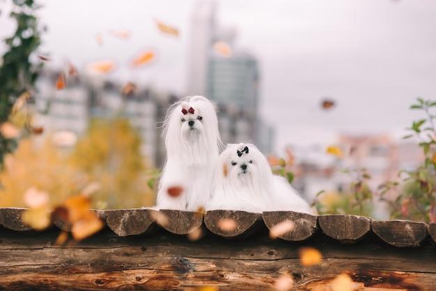 Dois cães malteses brancos na ponte no outono