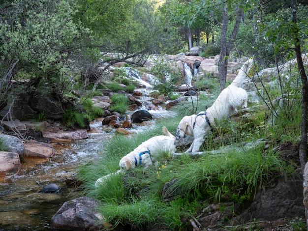 Dois cães perto do riacho em uma floresta. cães descendo a ladeira de uma área montanhosa com vista para um riacho.