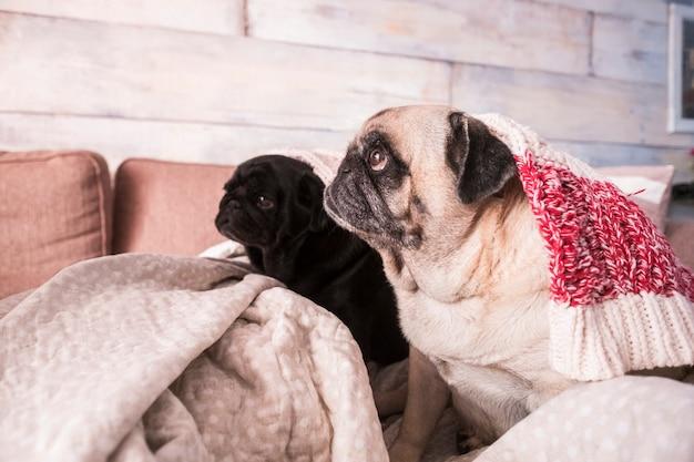 Dois cães pug olhando o dono em casa sentado no sofá sob as cobertas - vida saudável de animal doméstico