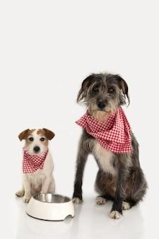 Dois cães que comem o alimento. jack russell e sheepdog sentando-se ao lado de uma bacia