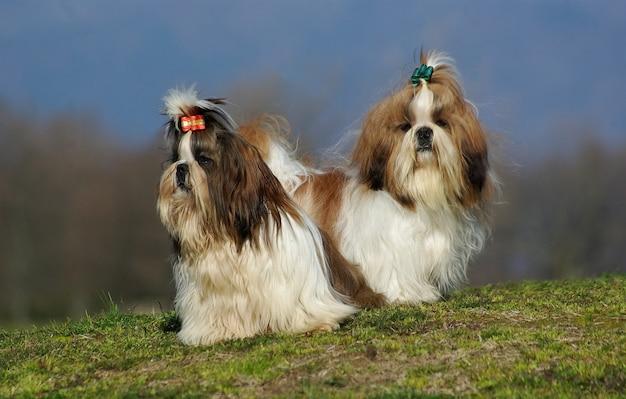 Dois cães shih tzu