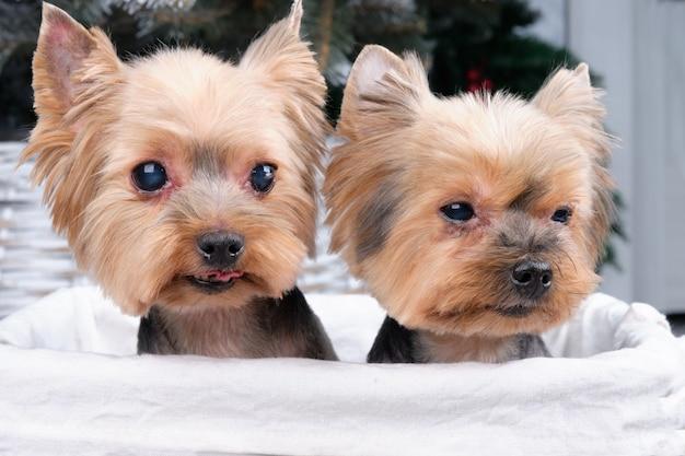 Dois cães yorkshire terrier sentados em uma cesta de vime