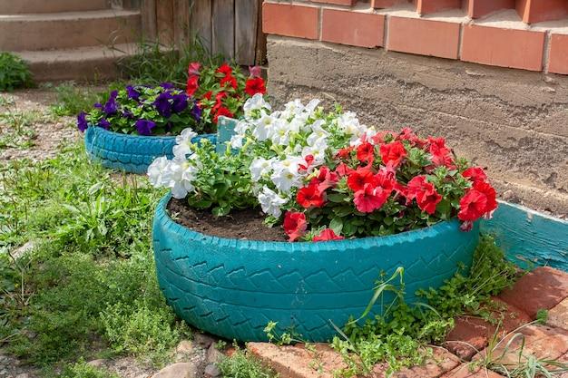 Dois canteiros de flores de petúnia feitos em pneus de carro velho ao lado da casa. imagem horizontal.