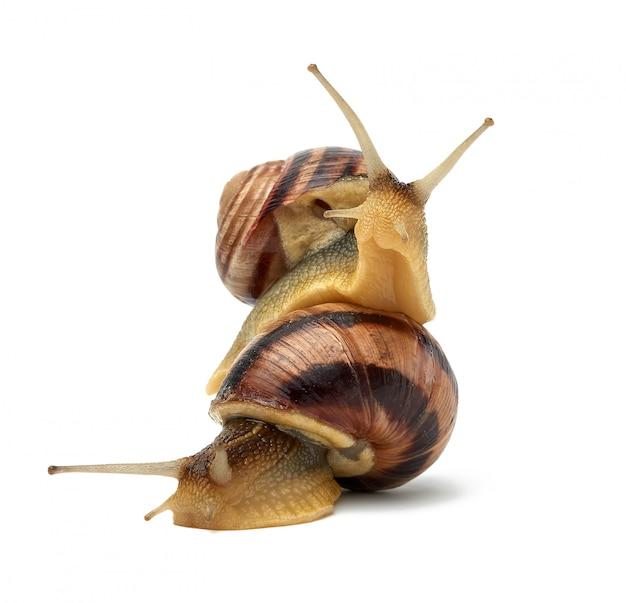 Dois caracóis marrons são isolados em um fundo branco