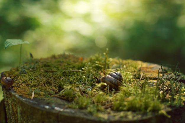 Dois caracóis rastejam ao longo de um grande toco, coberto de musgo na floresta no início da manhã, no verão.