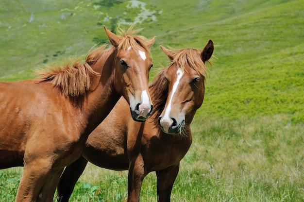 Dois cavalos baios na postura