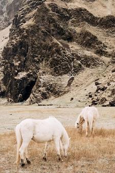 Dois cavalos brancos pastando em um campo contra uma montanha rochosa o cavalo islandês é uma raça de cavalo