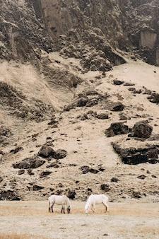 Dois cavalos pastam no fundo de uma montanha rochosa, o cavalo islandês é uma raça de cavalo cultivada em