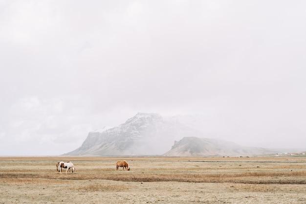 Dois cavalos pastando no campo em um cenário épico de montanhas cobertas de neve emolduram o islandês