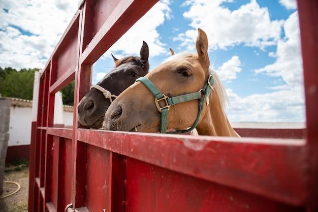 Dois cavalos pequenos enfiando a cabeça fora de uma cerca na fazenda