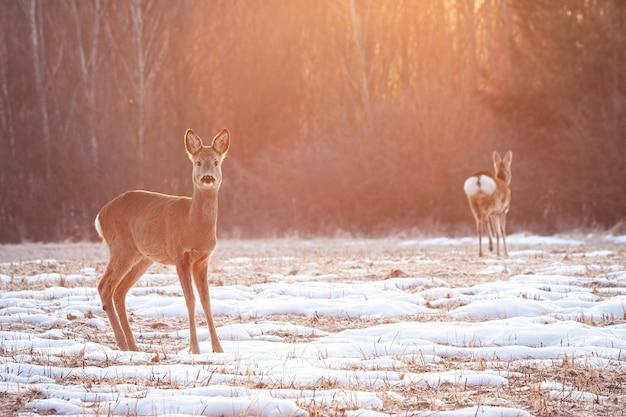 Dois cervos em um prado de manhã cedo com raios de sol brilhando