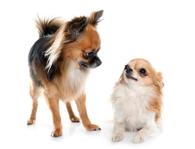 Dois chihuahuas de cabelos compridos
