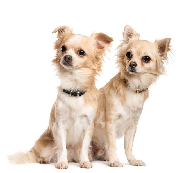 Dois chihuahuas sentados em frente a uma parede branca