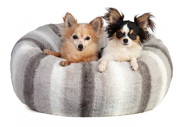 Dois chihuahuha em uma almofada cinza suave