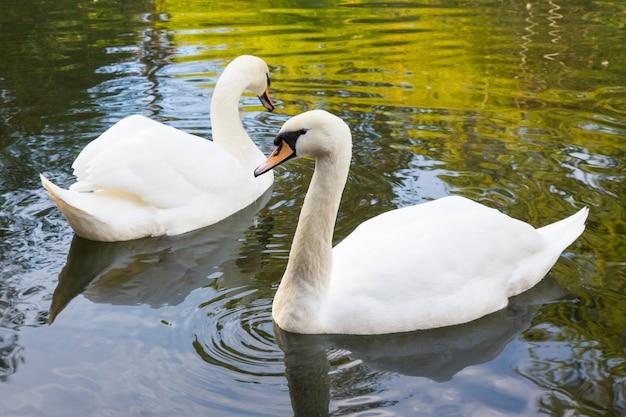 Dois cisnes brancos estão nadando no lago. isto é amor. o conceito de amor eterno e lealdade. a família swan