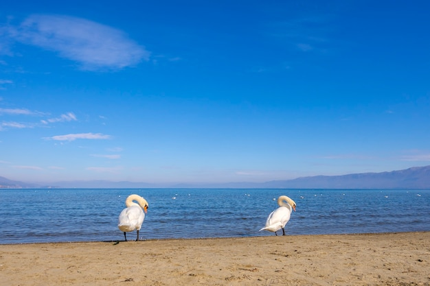 Dois cisnes brancos na praia do lago ohrid