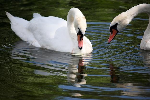 Dois cisnes brancos nadando na lagoa