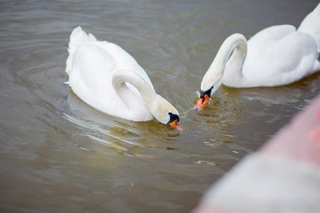 Dois cisnes brancos pegar comida na água. o cisne mergulha atrás de um entretenimento