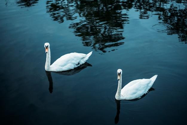 Dois cisnes nadando em uma lagoa