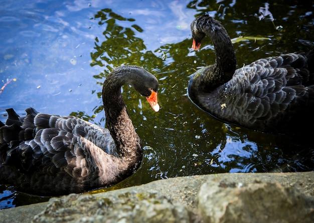 Dois cisnes negros em um lago