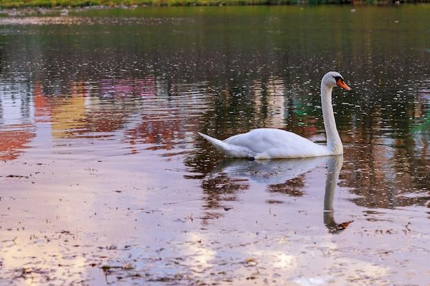 Dois cisnes novos que nadam afastado olhando para trás.