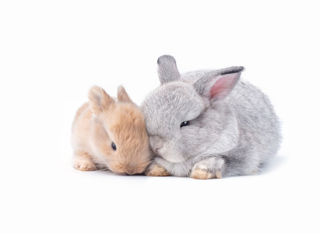 Dois coelhos bonitos do bebê marrons e cor cinzenta no branco.